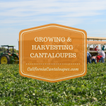 More About Growing & Harvesting California Cantaloupes