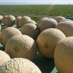 California Cantaloupe Season and Food Safety