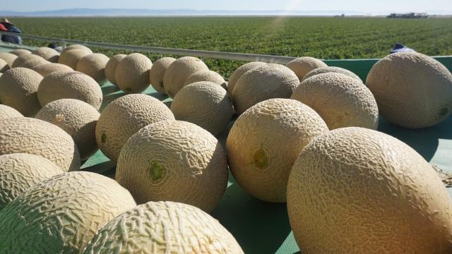 California Cantaloupe Season And Food Safety California Cantaloupes Cantaloupe, cucumis melo is vitamin c and a rich fruit which prevent cancer, strengthen immunity, lower anxiety and stress and support digestive health. california cantaloupe season and food