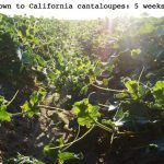 Upcoming Cantaloupe Excitement & a Giveaway