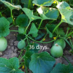 California Cantaloupe Season Countdown